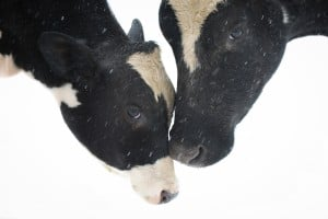 rescued cows at our farm animal sanctuary in new york