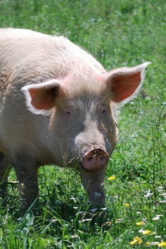 2010_06-18_FSNY_The-Doctor_pig_003_CREDIT_Farm_Sanctuary