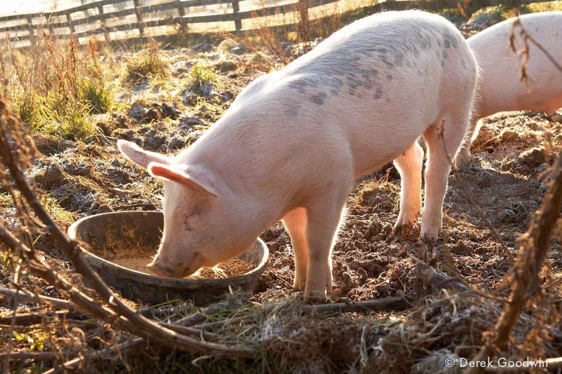 Truffles piglet
