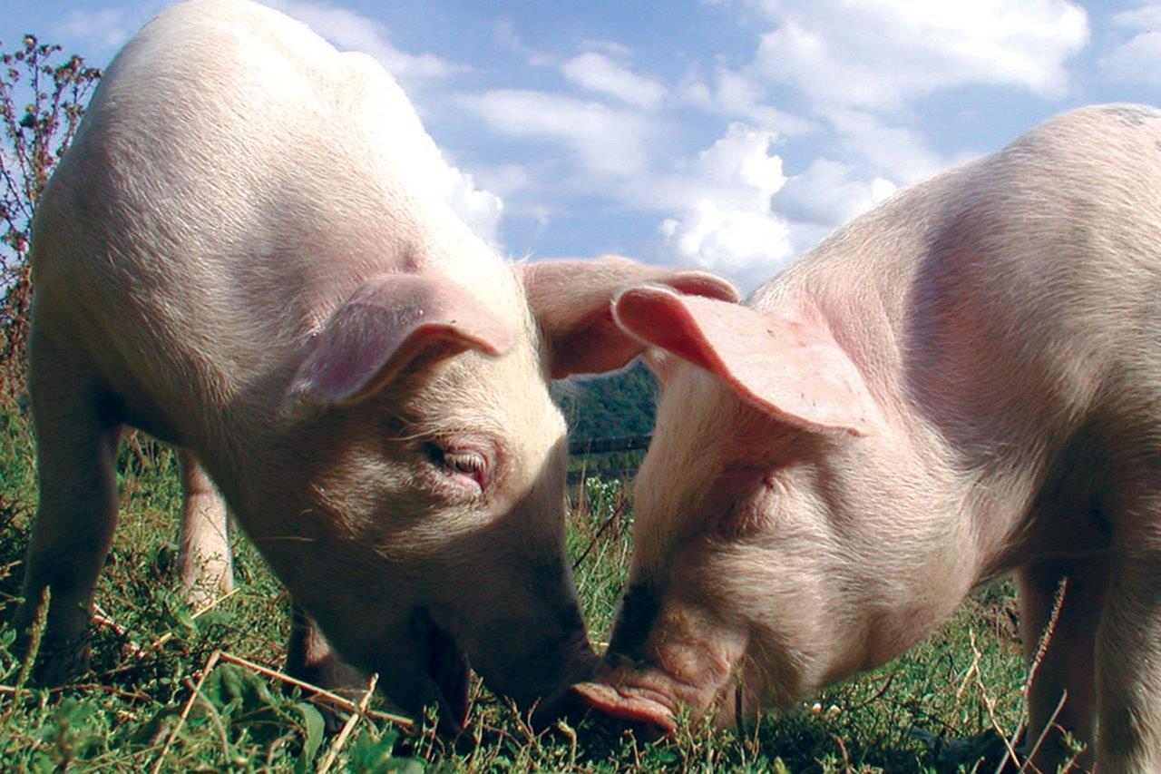 Rescue piglets
