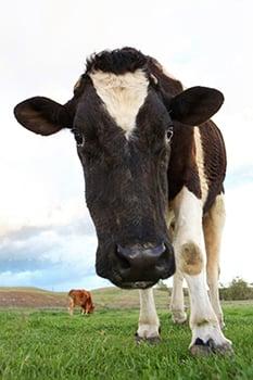 2013_03-21_FSOR_Valentino_cow_IMG_6724_CREDIT_Farm_Sanctuary
