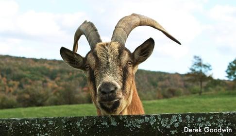 2003_10-15_FSNY_0005_Ivan goat_CREDIT Derek Goodwin