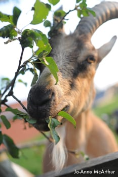 2009_08-02_FSNY_Ivan_goat_eating leaves_003_CREDIT Jo-Anne McArthur