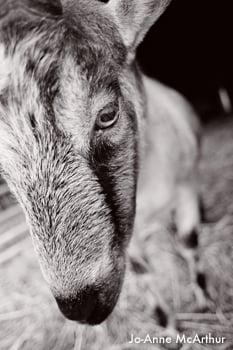 Ivan_Goat NY_Ivan goat bw_CREDIT Jo-Anne McArthur