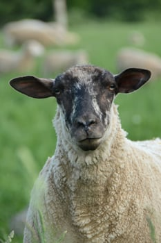 2014_05-30_FSNY_Dara_Sheep_DSC_1811.JPG_CREDIT_Farm_Sanctuary_750x1125_300_RGB