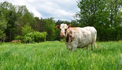 2013_06-10_FSNY_Queenie_cow_humane_blog