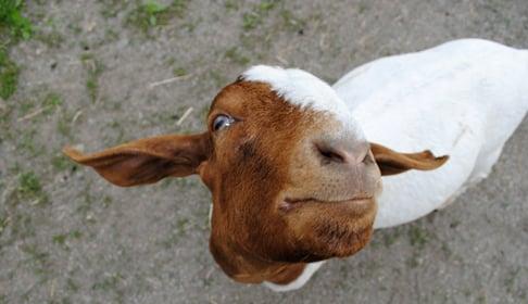 2014_05-19_FSNY_Jordan_goat_DSC_0019_blog