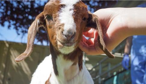 2014_06-17_FSOR_Totes_goat_arrival_3_CREDIT_Farm_Sanctuary