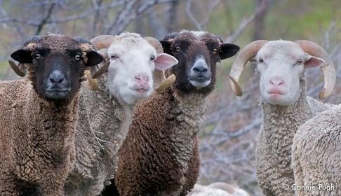 2009_12-19_FSCA_Santa_Cruz_sheep_007_CREDIT_Connie_Pugh