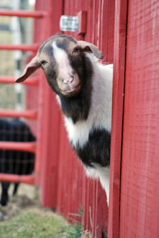 2010_01-26_FSNY_Gloria_goat_by_Erin_019