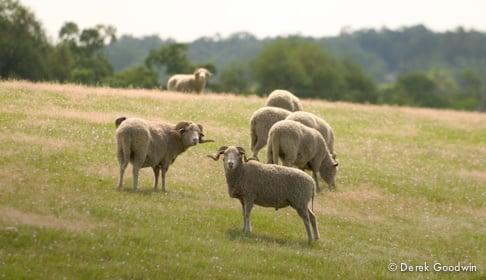 Sheep_CA_0398_CREDIT_Derek_Goodwin