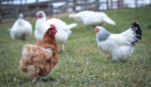 2014_12-09_FSNY_Pamela_hen_left_Pussy_Willow_hen_right_DSC_0615_CREDIT_Farm_Sanctuary