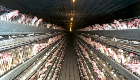 Battery Cages