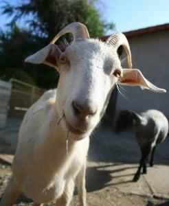 Prince goat at Farm Sanctuary