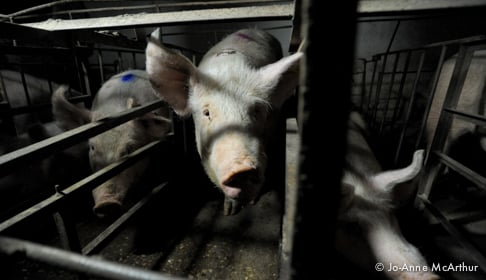 Pig factory farm investigation. Spain, 2011