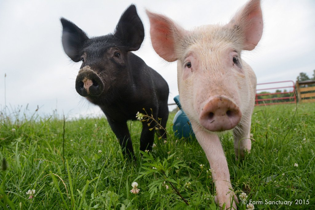 Anna & Maybelle piglets at Farm Sanctuary
