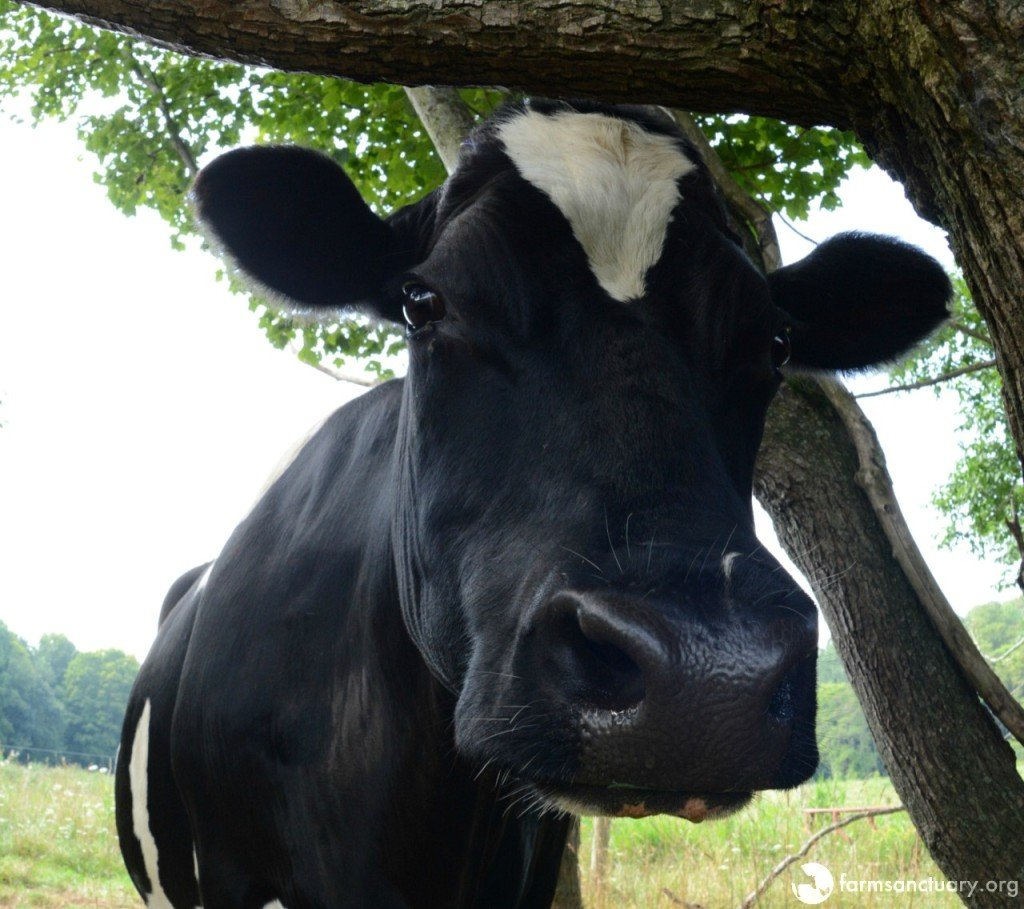 Farm Sanctuary resident DIane cow