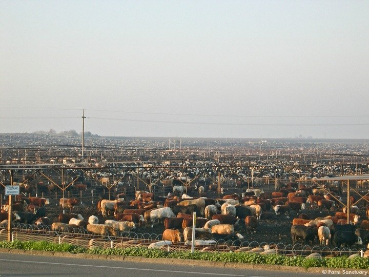 Cattle at a factory farm