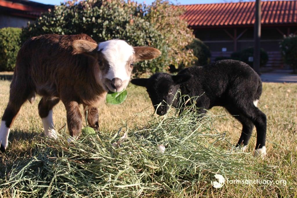 2015_12-17_FSAC_Nina_and_Kelley_lamb_IMG_0616_CREDIT_Farm_Sanctuary (1)